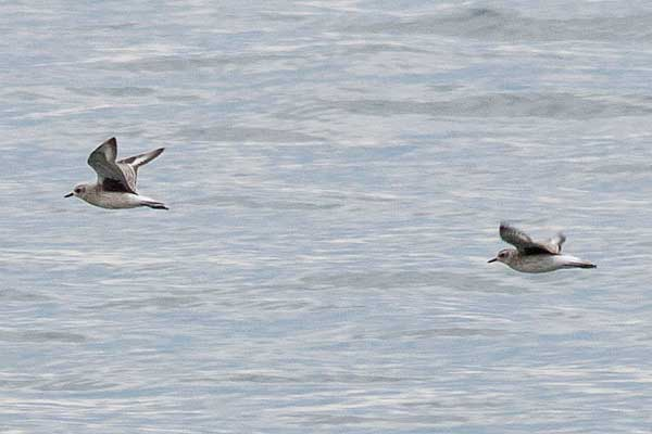 BB-Plovers-in-flight