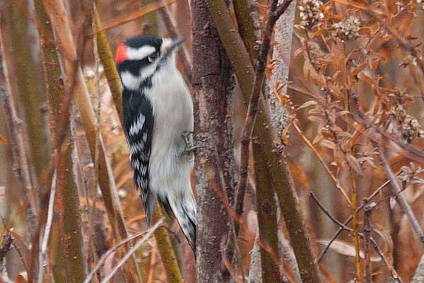 Downey-Woodpecker