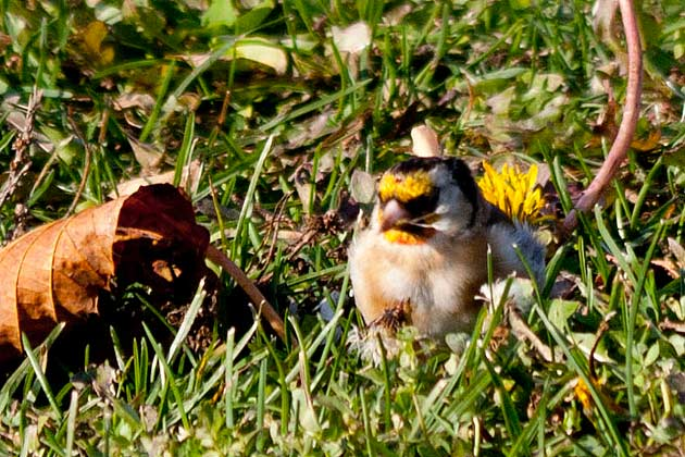 European-Goldfinch-front-view