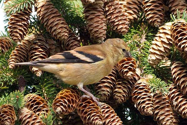 Feeding-on-Cones
