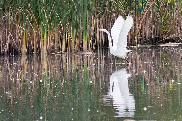 Great-Egret-Takeoff