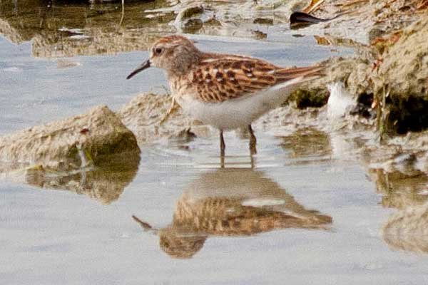 Least-Sandpiper-in-Water