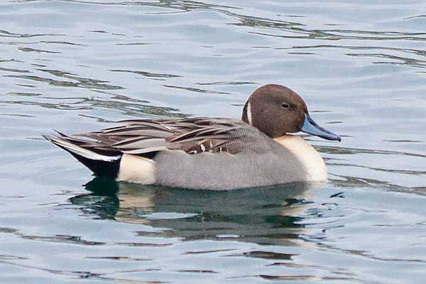 Male-Pintail