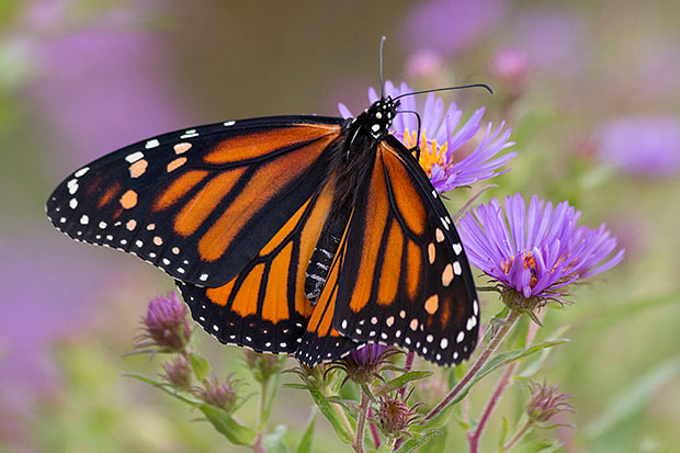 Monarch-on-Aster1
