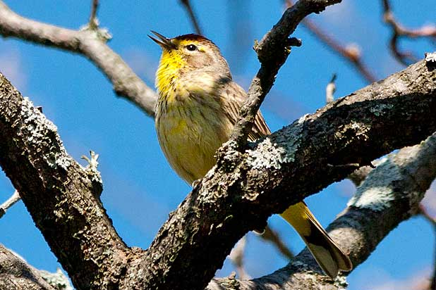 Palm-Warbler-singing