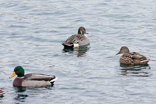 Pintail-with-Mallards