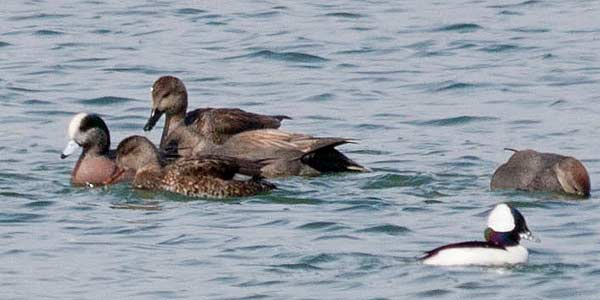 Wigeon-with-Gadwall