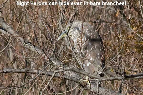 BC-Night-Heron1