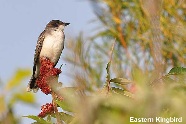 Eastern-Kingbird-3831