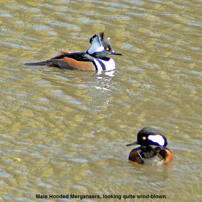 Hooded-Merganser1