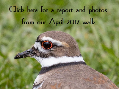 Killdeer-button