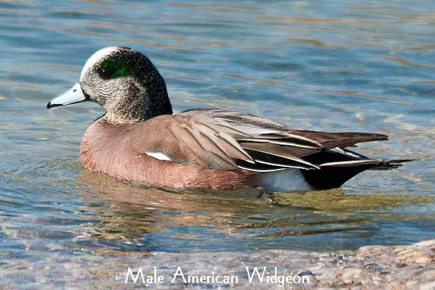 Male-Widgeon