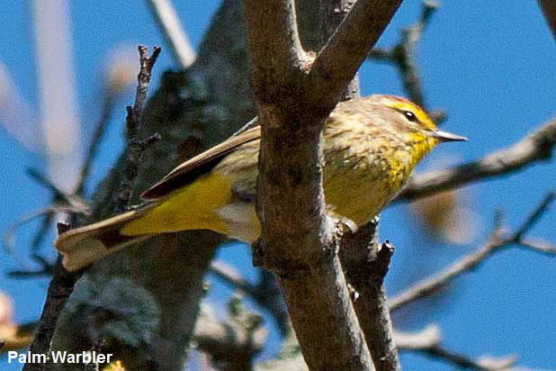 Palm-Warbler-from-below